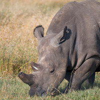 Last male northern white rhino dies in Kenya