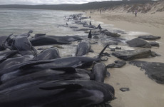 Rescuers struggle to save survivors after mass beaching of 135 whales in Australia