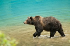 Hungry Russian bears pillage graveyards