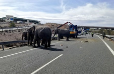 One elephant dies and others let loose after circus truck crashes on Spanish motorway