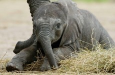 It's Friday, so here's a slideshow of baby elephants from around the world