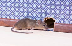 Louth crèche closed over rodent infestation in baby room and nappy changing area