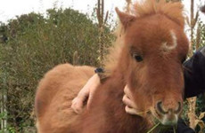 'She's our little baby': Sanctuary appeal for return of stolen Shetland pony