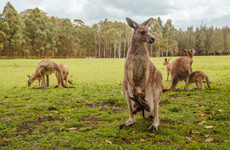 Brick-throwing Chinese zoo-goers kill a kangaroo and injure another