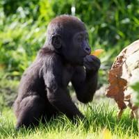 Aw, it's baby (gorilla's) first birthday