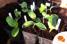 GIY: Courgettes are easy to grow and incredibly prolific, growing freakishly fast