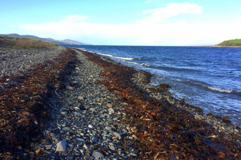 Kelp washed up on Bantry shore in September