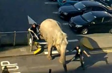VIDEO: Nellie the elephant makes a run for it in Cork