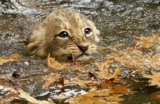 Today's cute animal video: angry, wet lion cubs