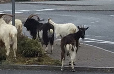 Feral goat herd prompts council to put up signs to warn motorists