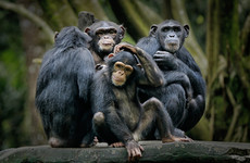 Can chimpanzee vocalisations reveal the origins of human language? This study found out