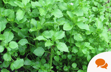 Chickweed: 'Not only is it edible, it's considered to be a nutritional powerhouse'