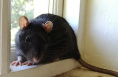 Filthy premises and rodent infestations: Six food businesses closed in April