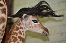 It's Friday, so here's a slideshow of baby giraffes from around the world