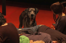 There's a play about Hamlet opening in the Abbey - and this Great Dane has a starring role