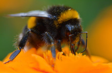 'Virtual safe space' aims to help identify threats facing bumblebees