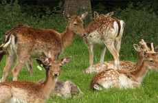 Phoenix Park deer: 'The bucks are in the bachelor area ... the females are up near Castleknock'