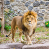 German zoo finds missing lions, tigers and jaguar hiding in their enclosures