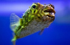 New blowfish law anger Tokyo's chefs