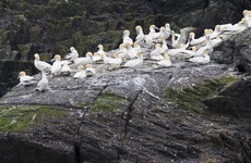 Gannets on Little Skellig are using plastic to build their nests