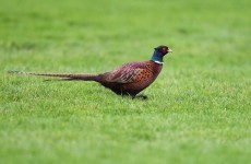 All clear: tests on Cork pheasants are negative for bird flu
