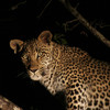 Animals are becoming more active at night to avoid humans
