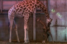 VIDEO: Dublin Zoo's newborn baby giraffe takes its first steps