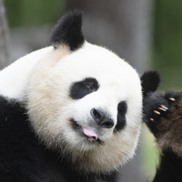 Panda conservation is worth billions of dollars a year