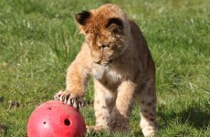In pictures: Libby the Lion cub ventures outside for first time