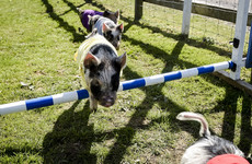 A massive row erupted over pig racing in a Santry pub on Liveline this afternoon