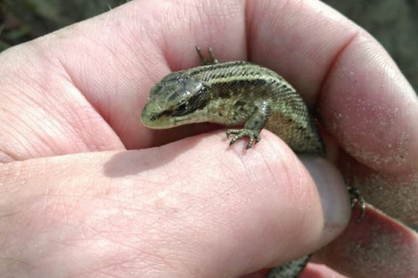 A lizard rescued by Dublin Fire Brigade in recent weeks.