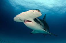 Warming seas mean 10 new species of shark could soon roam in Irish waters