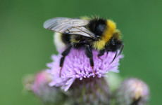 Kilkenny has chosen its own county insect... and it's the garden bumblebee