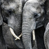 200 elephants to be moved to Mozambique as part of effort to prevent falling numbers