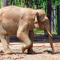Endangered pygmy elephant shot dead in Malaysia 'out of revenge for destroying crops'