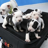 Man charged over abandoning puppies after leaving ID tag on suitcase