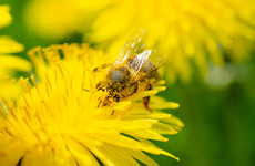 Irish and US researchers teaming up to help save bees