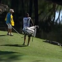 WATCH: Caddie takes on an alligator at the 15th hole of the RBC Heritage
