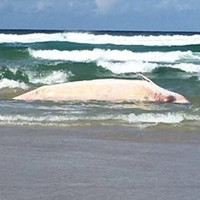 Concern sonar may be causing strandings as seven more whale deaths reported