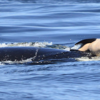 People are heartbroken over a mother orca who carried the corpse of her newborn calf for 17 days