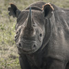 How did 11 of Kenya's most precious and protected black rhinos end up dead?