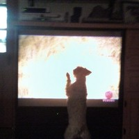 'DogTV' channel to offer eight hours of canine entertainment a day