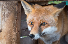 London's serial cat killer turns out to be a fox