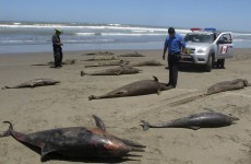 Mass deaths of dolphins off Peru remains a 'mystery'