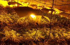 'It can make a massive difference to cases': Legal experts question garda cannabis plant valuation