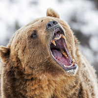 US hunter suffers life-threatening injuries after bear he shot lands on him