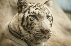 White tiger kills zookeeper in enclosure during rare attack in Japan