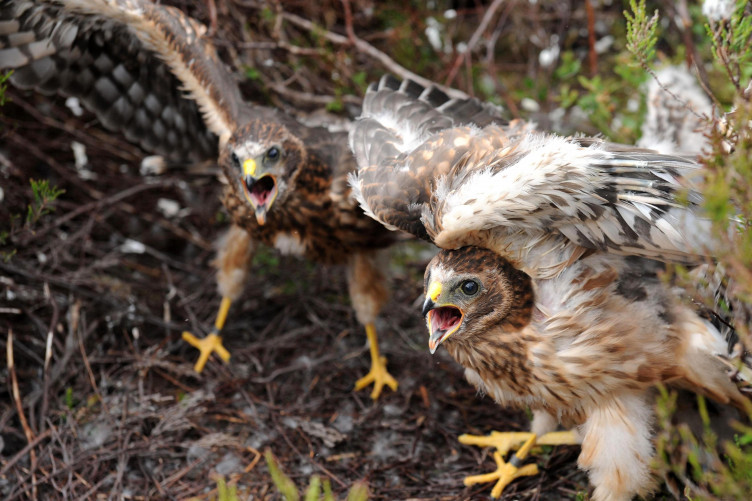 Rare one month old Hen Harrier chicks