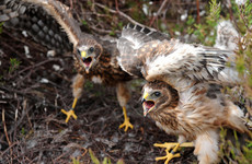 Environmental groups enraged by protected sites plan for endangered hen harrier
