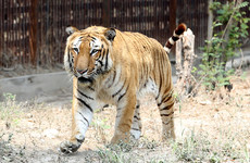 Man-eating Tiger killed in India after 150-strong man hunt